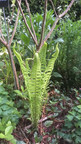Fougère Plume d'autruche (Matteucia struthiopteris