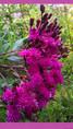 Vernonia crinata en fleurs