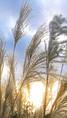 Miscanthus et soleil d'hiver