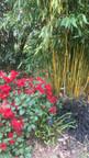 Massif de bambou doré (phyllostachys aureosulcata 'aureocaulis') et d'ophiopogon planiscapus 'nigrescens'