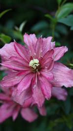 Clématis montana 'Broughton Star'