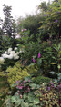 Massif du magnolia 'black tulip'