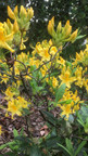 Azalée pontique (Rhododendron luteum)