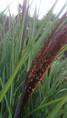 Miscanthus semi naturel