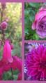 Penstemon 'Southgate gem' à gauche, Rosa 'Ventilo' en haut à droite et Dalhia  en bas à droite