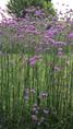 Verveine de Buenos Aires (Verbena Bonariensis)
