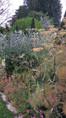 Fenouil bronze (Foeniculum vulgare 'purpureum')