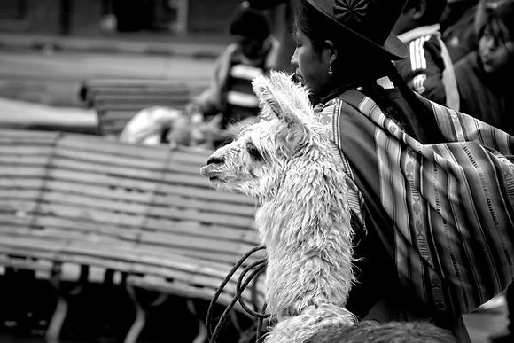 Alpaca strutting thru the streets of Cusco - Peru