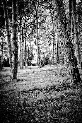 Silver birch trees - woods - Sardinia, Italy