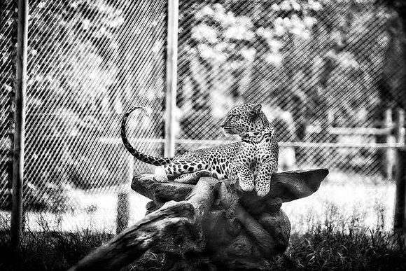 Leopard lazing - Nairobi National Park