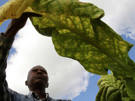 Zim exports $3,7 million tobacco in first week of 2017