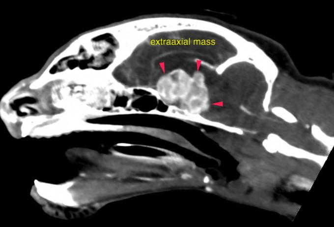 Image_Cat Tumor 1.jpg