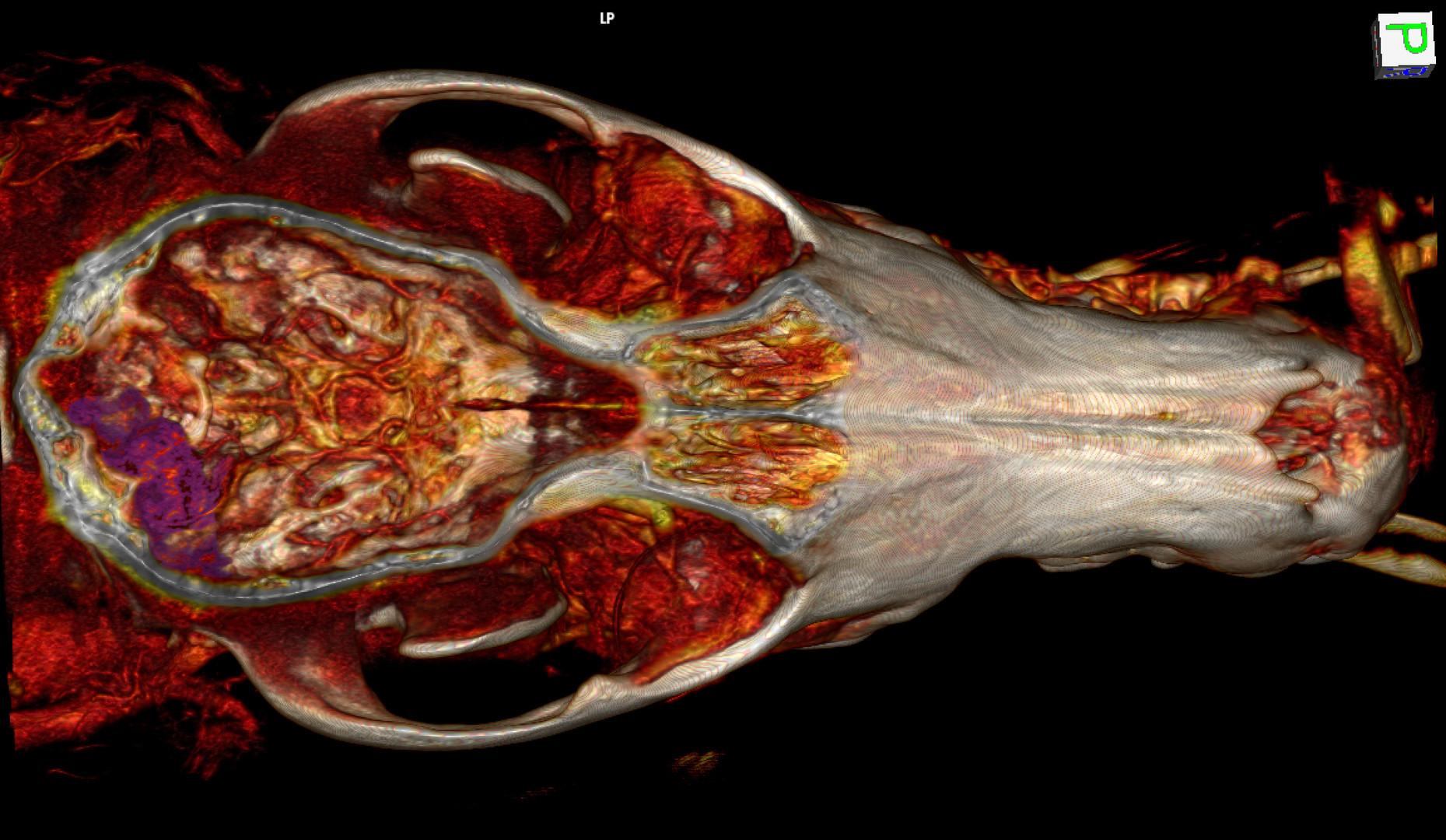 K9 Brain Tumor 3D.jpg