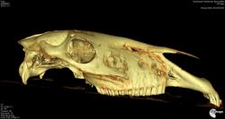 Skull_Horse_3D