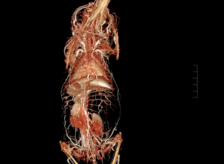 First Ever Common Tenrec to Undergo Whole Body BriteVu® Contrast Perfusion, Using VIMAGO™
