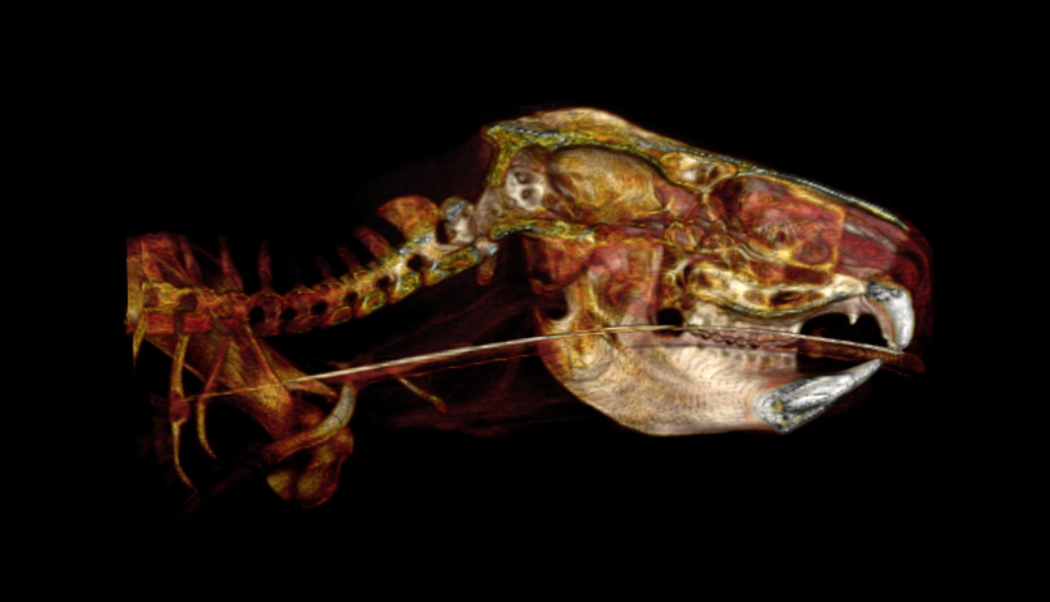 EAH - Vimago™ Koala Skull