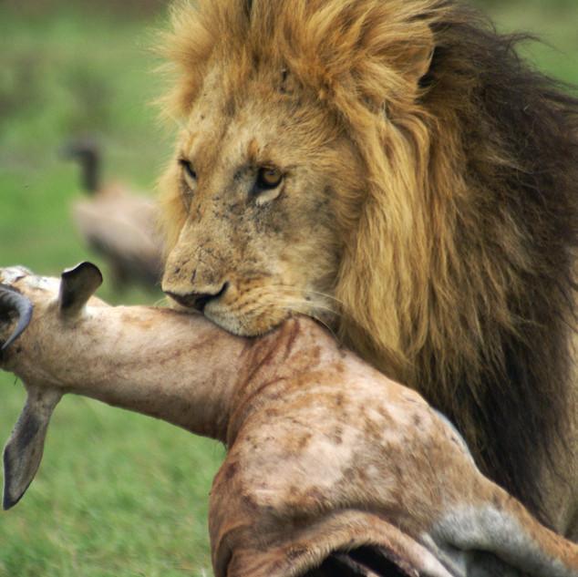 Fotografie přírody, reportážní fotografie - lev v Masai Mara