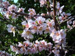 Sagra del Mandorlo in Fiore