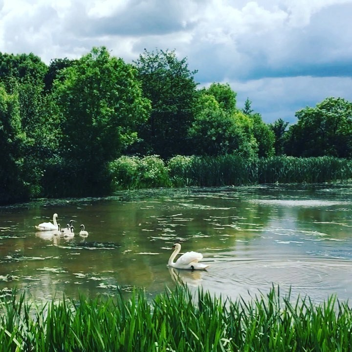 Checking in with our favourite family...  #swans #nature