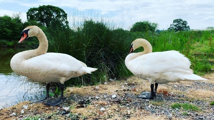 Our guests just sent me this video, they couldn't believe how friendly our swans are!! #swanlife