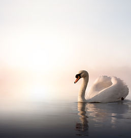 Swan floating on the water at sunrise of