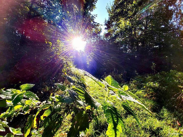 Nr.125 Morgenstimmung im Wald von Prora , in Nähe des Baumwipfelpfades