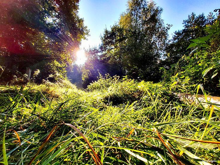 Nr.126 Morgenstimmung im Wald von Prora , in Nähe des Baumwipfelpfades