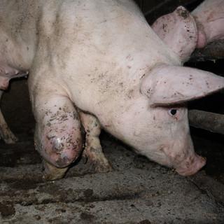 Tierqual mit Tierwohlsiegel
