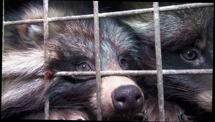 racoon dog farm in poland