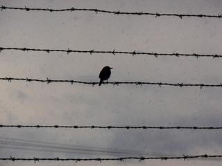 Spatz im Regen Auschwitz