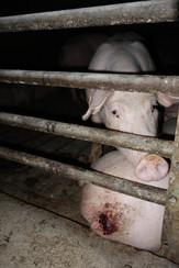 welfare label pigs