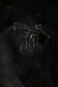 Was denkt der schwarze Makake?