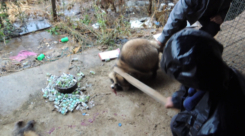 Clubbing racoon dogs to death