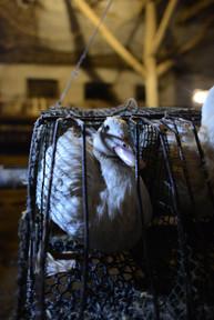 single cage for foie gras hungary