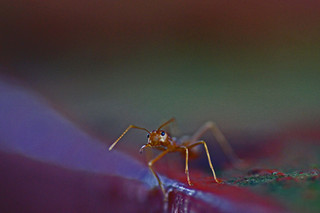 Ant in pink
