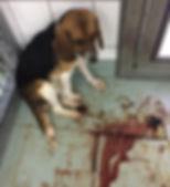 Beagle mit schweren Blutungen2_LPT12.201