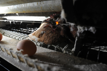 Laying hen killed by electric wire. Mamming germany