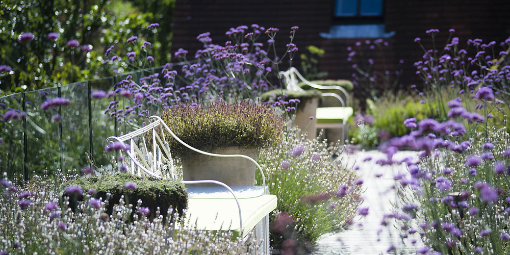 lavender in a beautiful english garden in the summer luxury