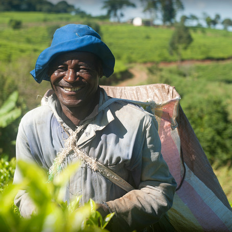 Ethical, Family-Owned Tea from Africa: Satemwa Tea Estate