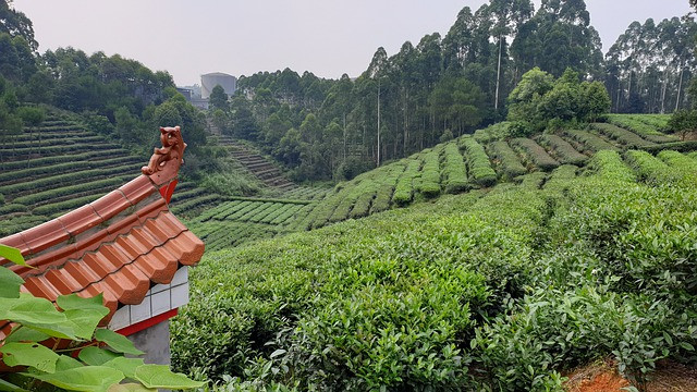 tea field in the Fujian Province, China