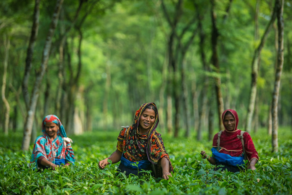 women tending to Teatulia tea garden in Bangladesh.