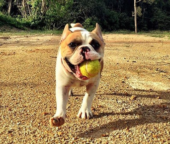 A dog and his tennis ball, absolute blis