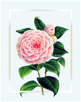 Camilia Flower Poster