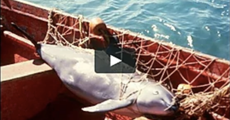 The Vaquita - why all the fuzz !?