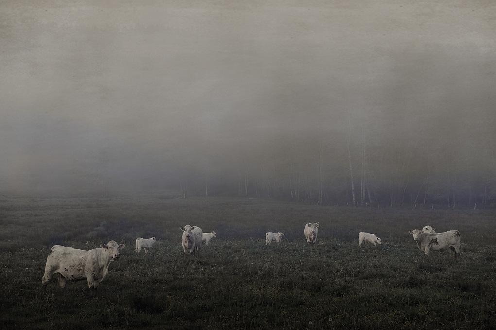 Vaches dans la brume - Joël Cadiou