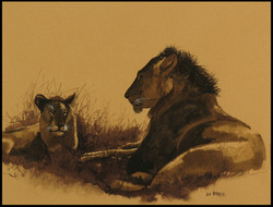 Lion au repos. Lion at rest.