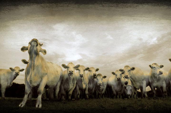 Vaches dans la tourmente - Cadiou