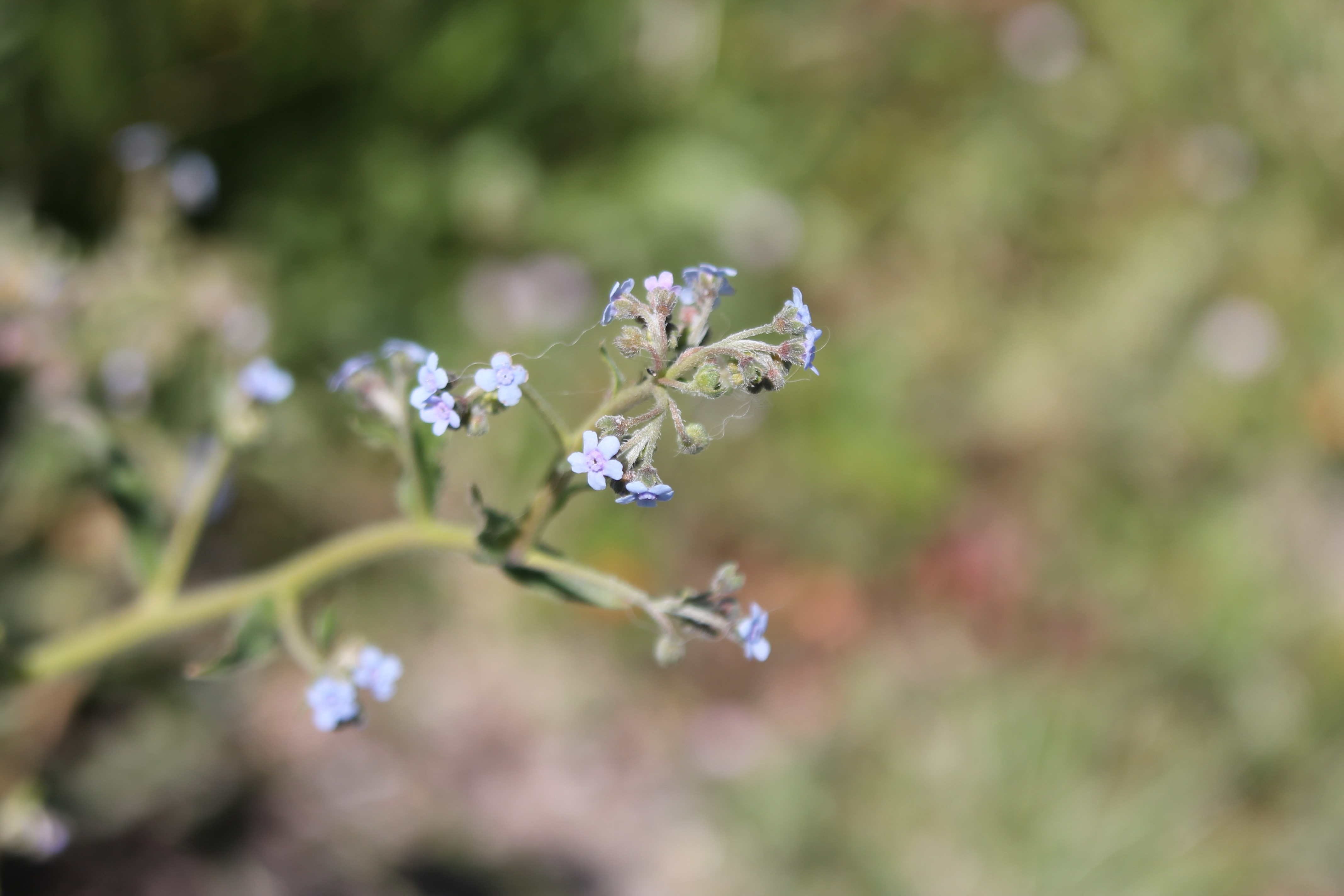 Australian Forget-me-not