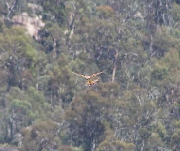 Brown Falcon, Rendezvous Creek