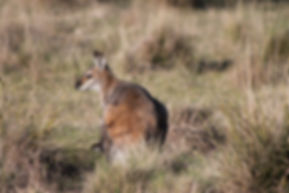 Red Necked Wallaby, Tidbinbilla Nature Reserve